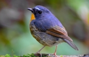 Songbirds learn to sing in their sleep